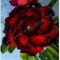 Семена Adenium Obesum Desert rose TRIPLE DARK SERENADE