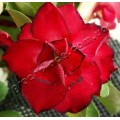 Насіння Adenium Obesum Desert rose TRIPLE FLOWERS