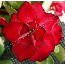 Насіння Аденіум Тучний TRIPLE FLOWERS