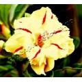Растение Адениум (Adenium) Obesum TRIPLE GOLD MEDAL
