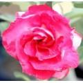 Семена Adenium Obesum Desert rose TRIPLE LOVE ROSES