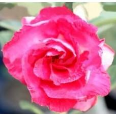 Семена Адениум Тучный TRIPLE LOVE ROSES