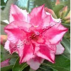Растение Адениум Тучный TRIPLE PINK PARADISE