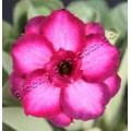 Насіння Adenium Obesum Desert rose TRIPLE PINK VIOLET