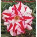 Растение Адениум (Adenium) Obesum TRIPLE RED FINALE