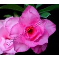 Насіння Adenium Obesum Desert rose TRIPLE SHOCKING PINK