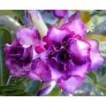 Насіння Adenium Obesum Desert rose TRIPLE SILVER BLUE