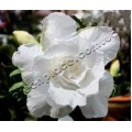 Рослина Adenium Obesum Desert rose TRIPLE SNOW WHITE