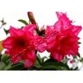 Семена Adenium Obesum Desert rose TRIPLE STAR