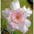 Семена Adenium Obesum Desert rose TRIPLE SWEET VALENTINE