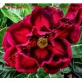 Семена Адениум (Adenium) Obesum TRIPLE TRUE LUXURY