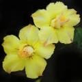 Семена Adenium Obesum Desert rose VIVID GOLD