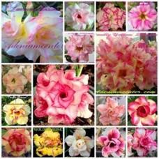 Насіння Аденіум Тучний DOUBLE-TRIPLE FLOWERS MIXED SET 1