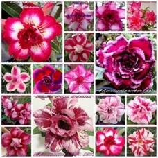 Семена Адениум Тучный DOUBLE-TRIPLE FLOWERS MIXED SET 2
