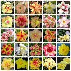 Насіння Аденіум Тучний DOUBLE-TRIPLE FLOWERS MIXED SET 3