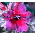 Семена Адениум (Adenium) Obesum KALEIDOSCOPE