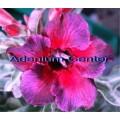 Насіння Аденіум (Adenium) Obesum KALEIDOSCOPE