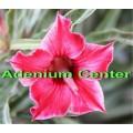 Семена Адениум (Adenium) Obesum PINK THUNDHER