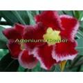 Семена Адениум (Adenium) Obesum RED ZONE
