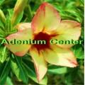 Семена Адениум (Adenium) Obesum SUNFLOWER