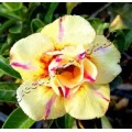 Семена Adenium Obesum Desert rose DOUBLE CITRINE