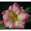 Семена Adenium Obesum Desert rose JOYFUL