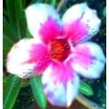 Насіння Adenium Obesum Desert rose MARMORA