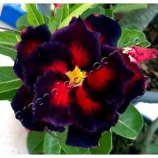 Семена Адениум Тучный DOUBLE BLACK MADONNA