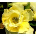 Растение Адениум (Adenium) Obesum DOUBLE GOLDEN SUNSHINE