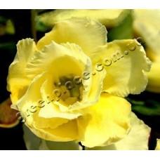 Растение Адениум Тучный DOUBLE GOLDEN SUNSHINE
