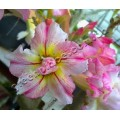 Насіння Adenium Obesum Desert rose DOUBLE SHEER LOVE