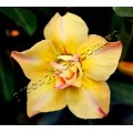 Насіння Adenium Obesum Desert rose DOUBLE YELLOW GOLD
