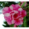 Рослина Аденіум (Adenium) Obesum DOUBLE RAVISHING LOVE