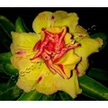 Семена Adenium Obesum Desert rose TRIPLE YELLOW LEMON