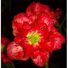 Растение Адениум Тучный DOUBLE WATERFALL