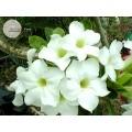Семена Адениум (Adenium) Obesum ANGEL