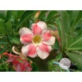Растение Адениум (Adenium) Obesum BEAUTY CLOUD 2