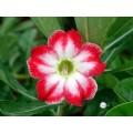 Семена Адениум (Adenium) Obesum BELLE STORY