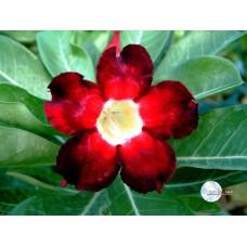 Растение Адениум Тучный BLACK BEAUTY