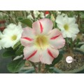 Насіння Adenium Obesum Desert rose BLAZE