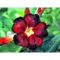Семена Адениум (Adenium) Obesum BLACK FIRE