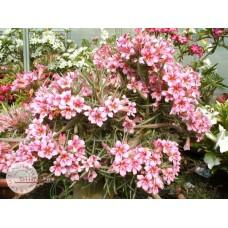 Растение Адениум Тучный BOSOM JADE