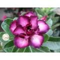 Семена Адениум (Adenium) Obesum CODE13