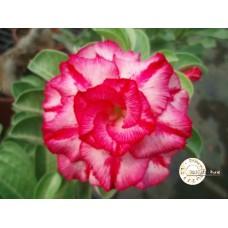 Семена Адениум Тучный CODE19
