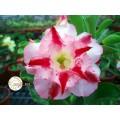 Семена Адениум (Adenium) Obesum CODE22