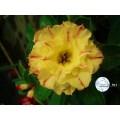 Семена Адениум (Adenium) Obesum CODE26