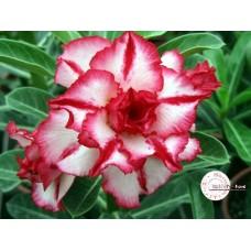 Растение Адениум Тучный CODE35