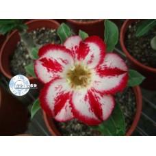 Семена Адениум Тучный CODE48