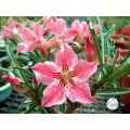 Сеянцы Адениум (Adenium) Obesum DANCE OF BUTTERFLY