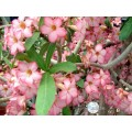 Растение Адениум (Adenium) Arabicum DESERT NIGHT FORK